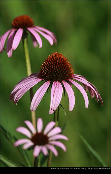purpur sonnenhut echinacea purpurea im alten botanischen. Black Bedroom Furniture Sets. Home Design Ideas