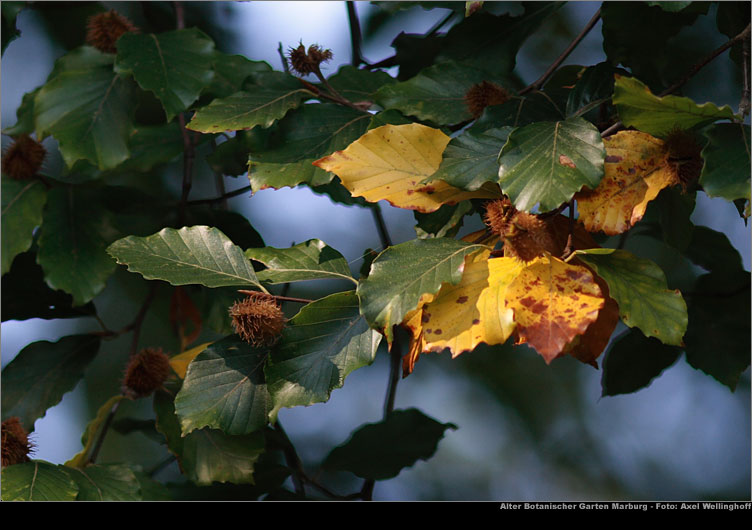 marburg alter botanischer garten amerikanische buche fagus grandifolia. Black Bedroom Furniture Sets. Home Design Ideas