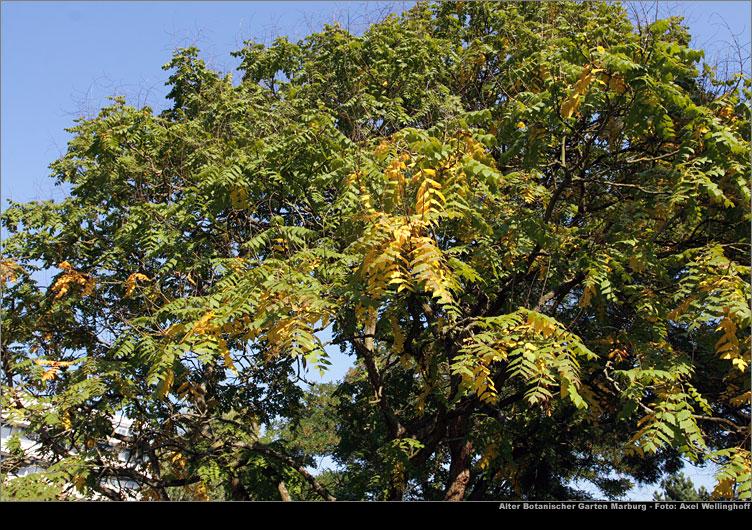 marburg alter botanischer garten rispiger blasenbaum koelreuteria paniculata. Black Bedroom Furniture Sets. Home Design Ideas